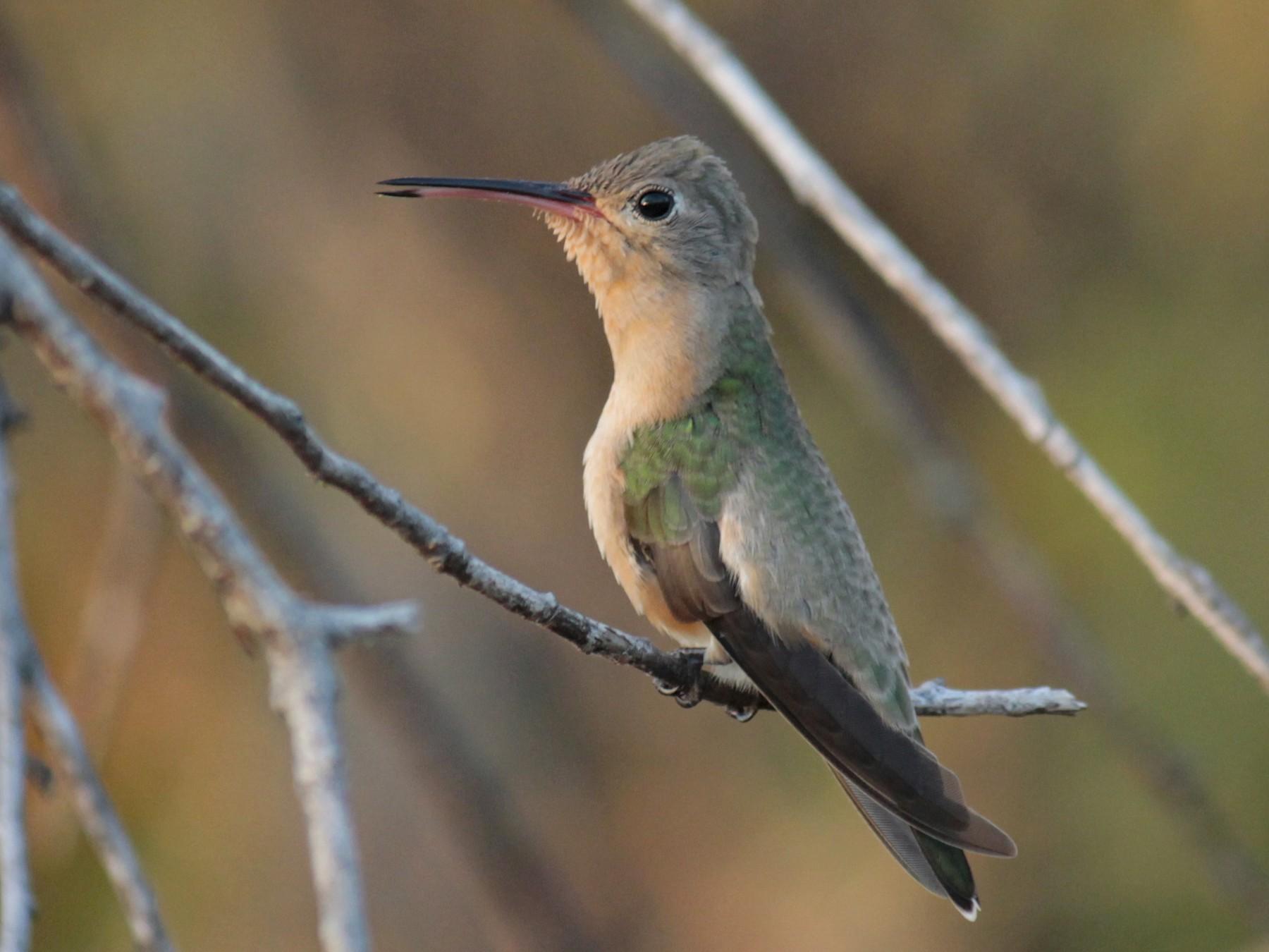Buffy Hummingbird - Stephan Lorenz
