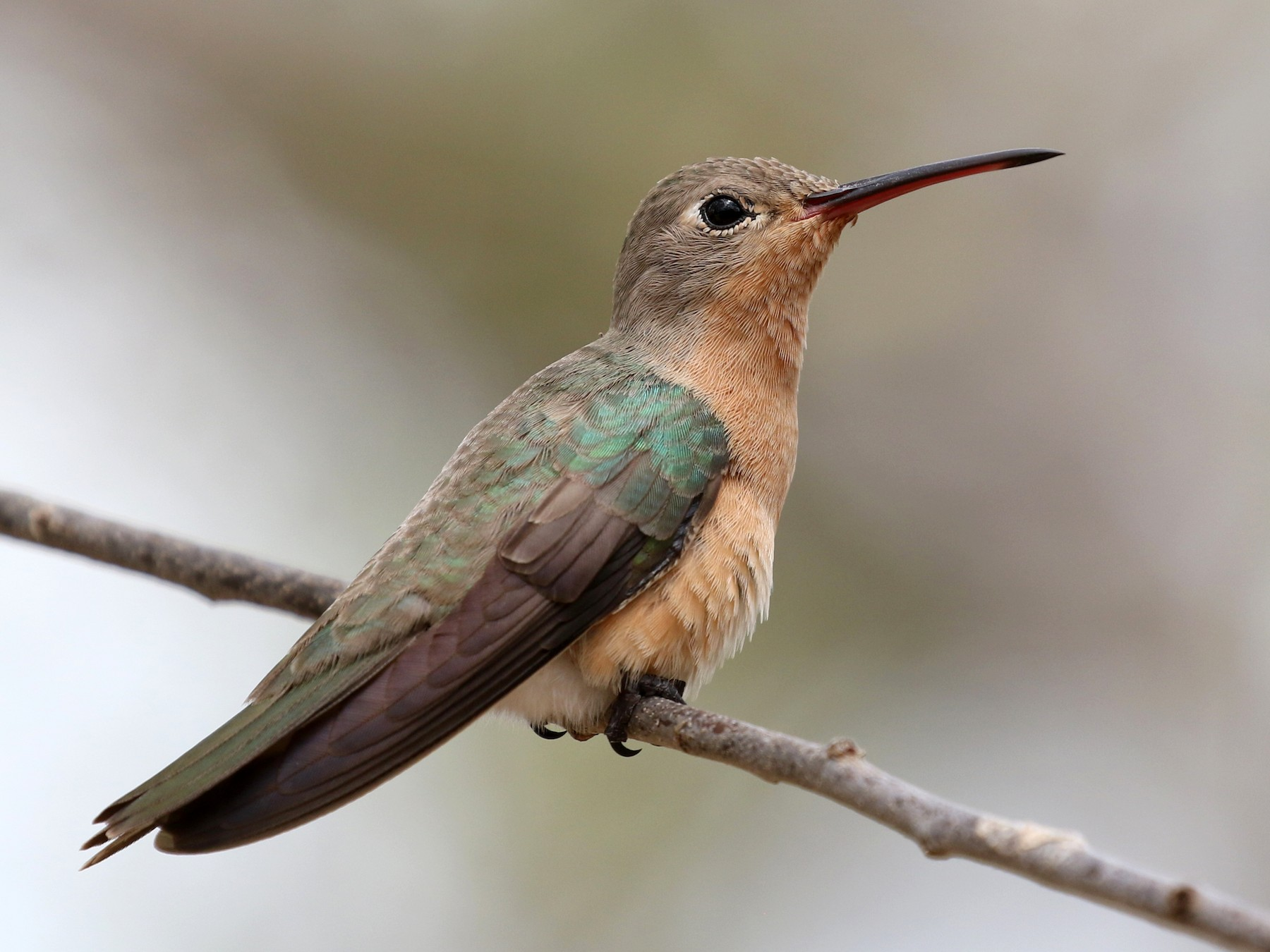 Buffy Hummingbird - Matthew Grube