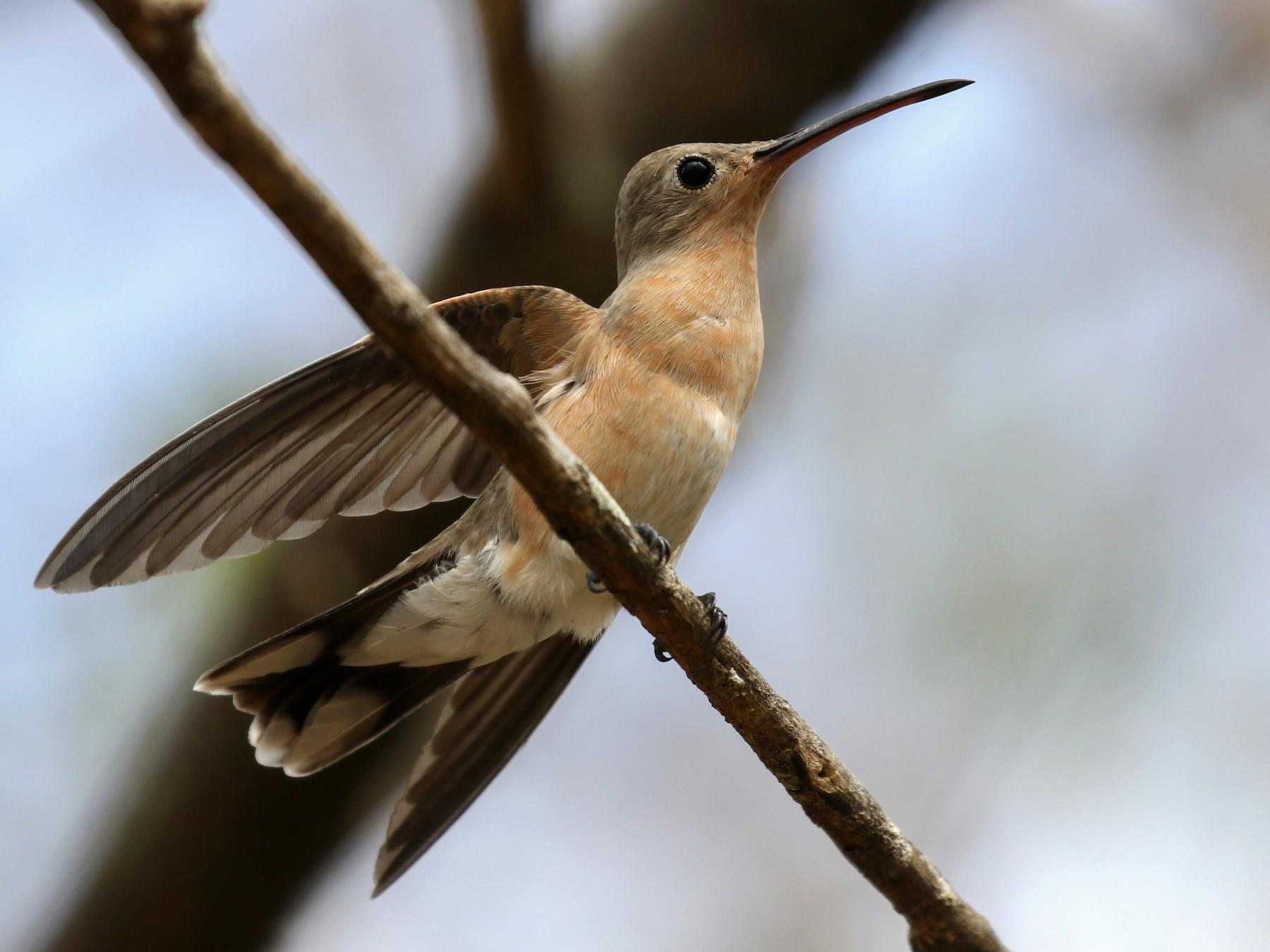 Buffy Hummingbird - Michael Woodruff