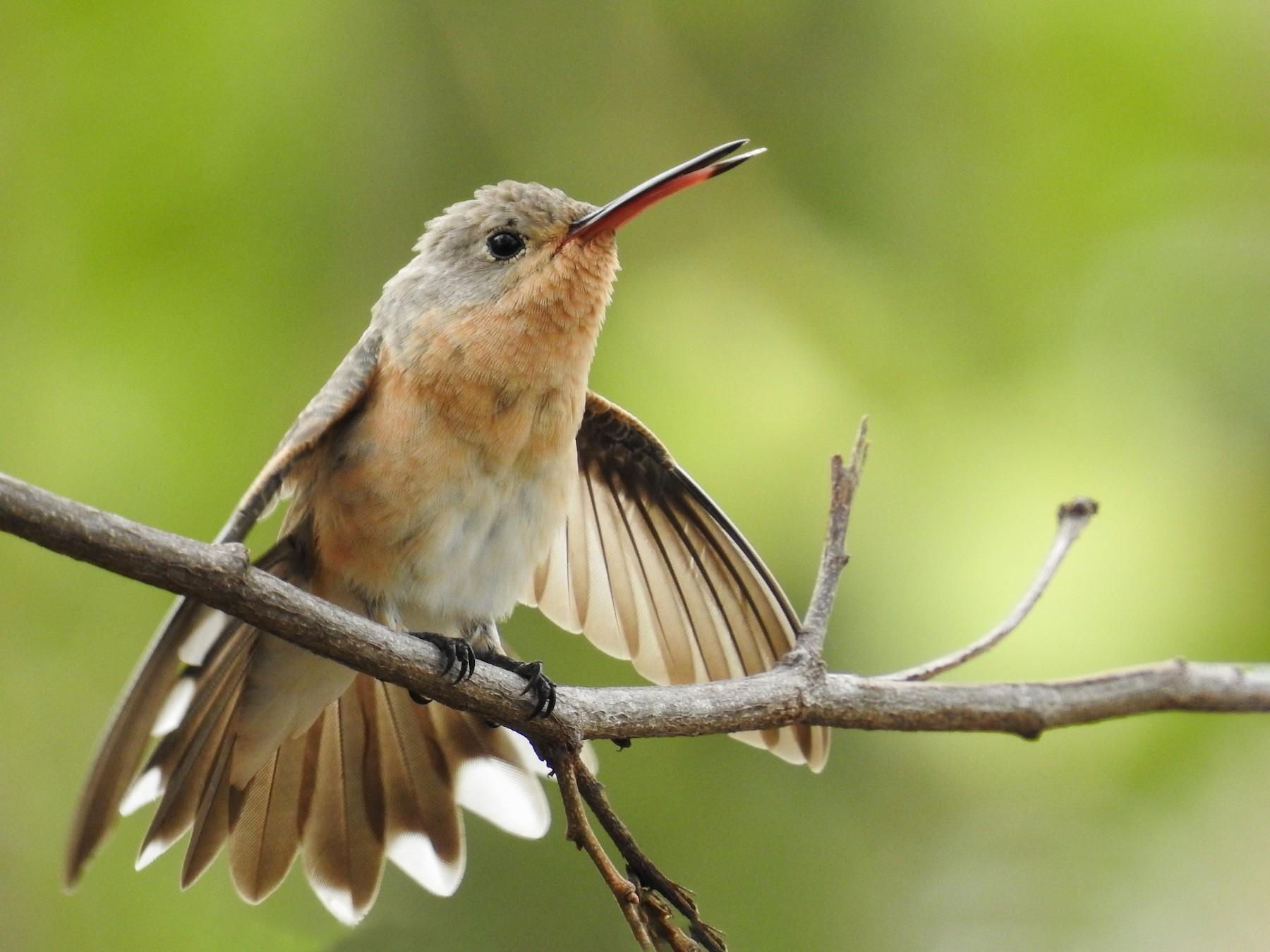 Buffy Hummingbird - Eduardo Rafael  Lázaro Arroyo
