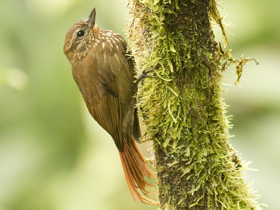 Wedge-billed Woodcreeper - Dusan Brinkhuizen