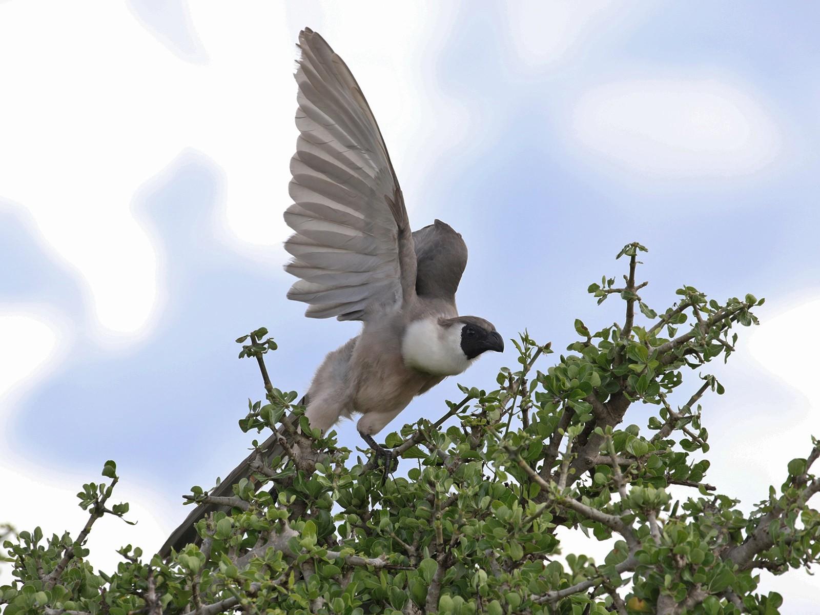 Bare-faced Go-away-bird - Charley Hesse TROPICAL BIRDING