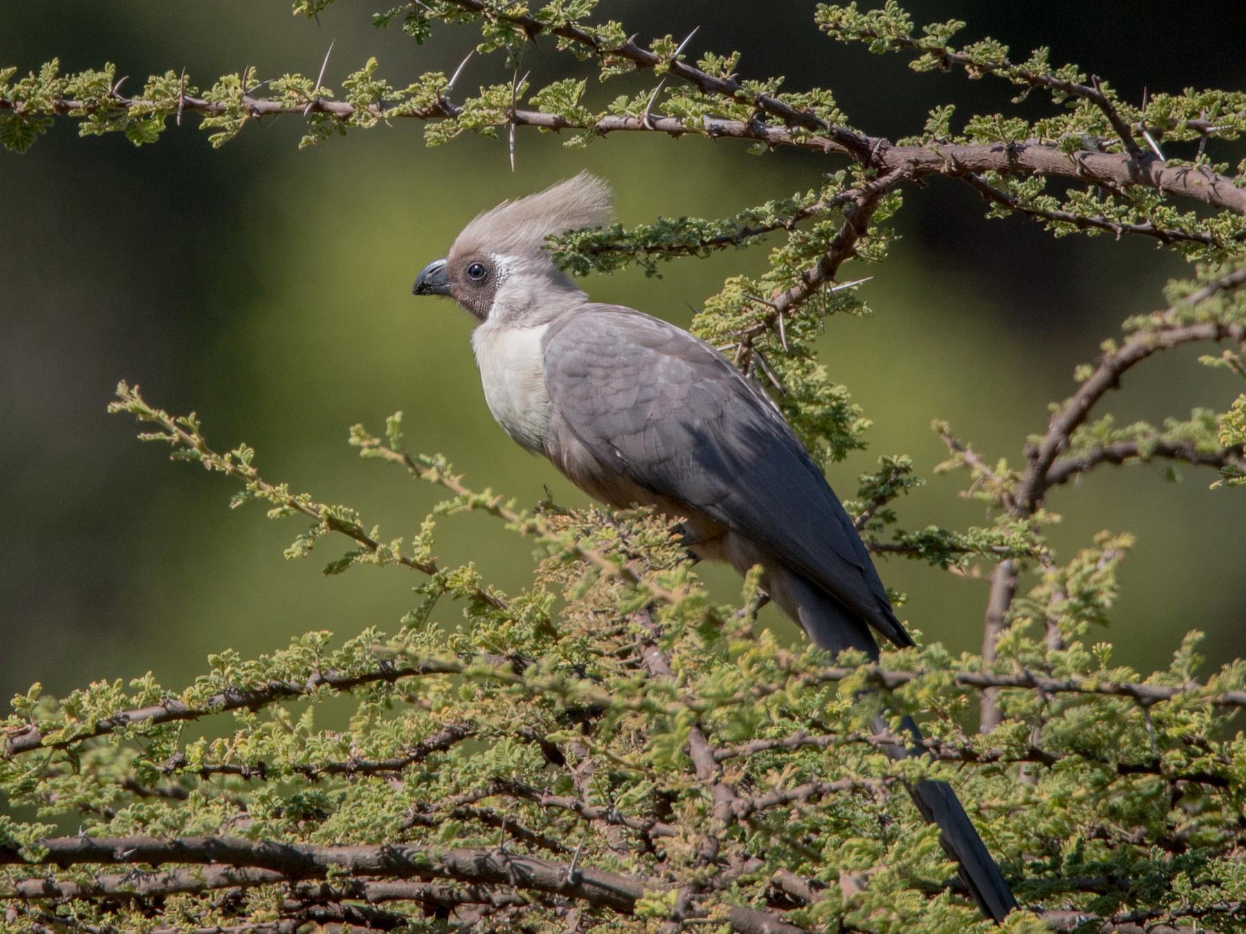 Bare-faced Go-away-bird - Ian Davies