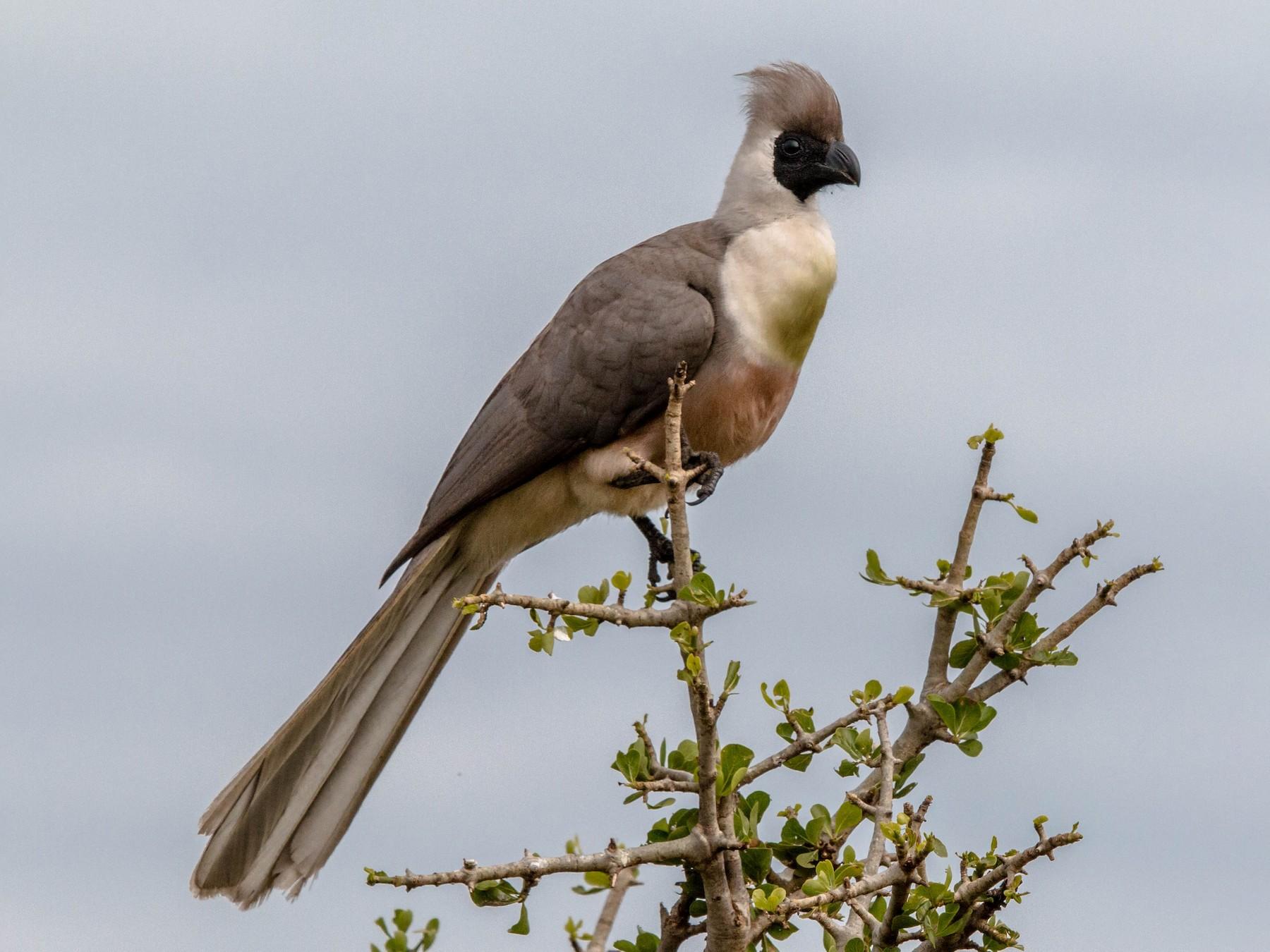Bare-faced Go-away-bird - Kevin Vande Vusse