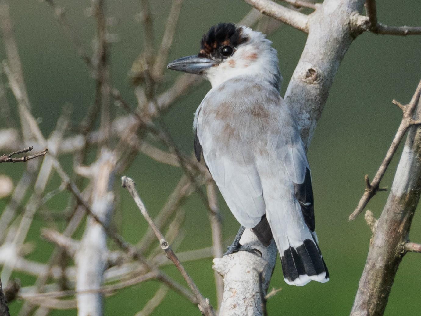 Black-crowned Tityra - Jan Allen