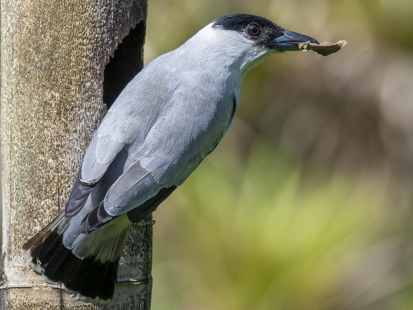 Black-crowned Tityra - fernando Burgalin Sequeria