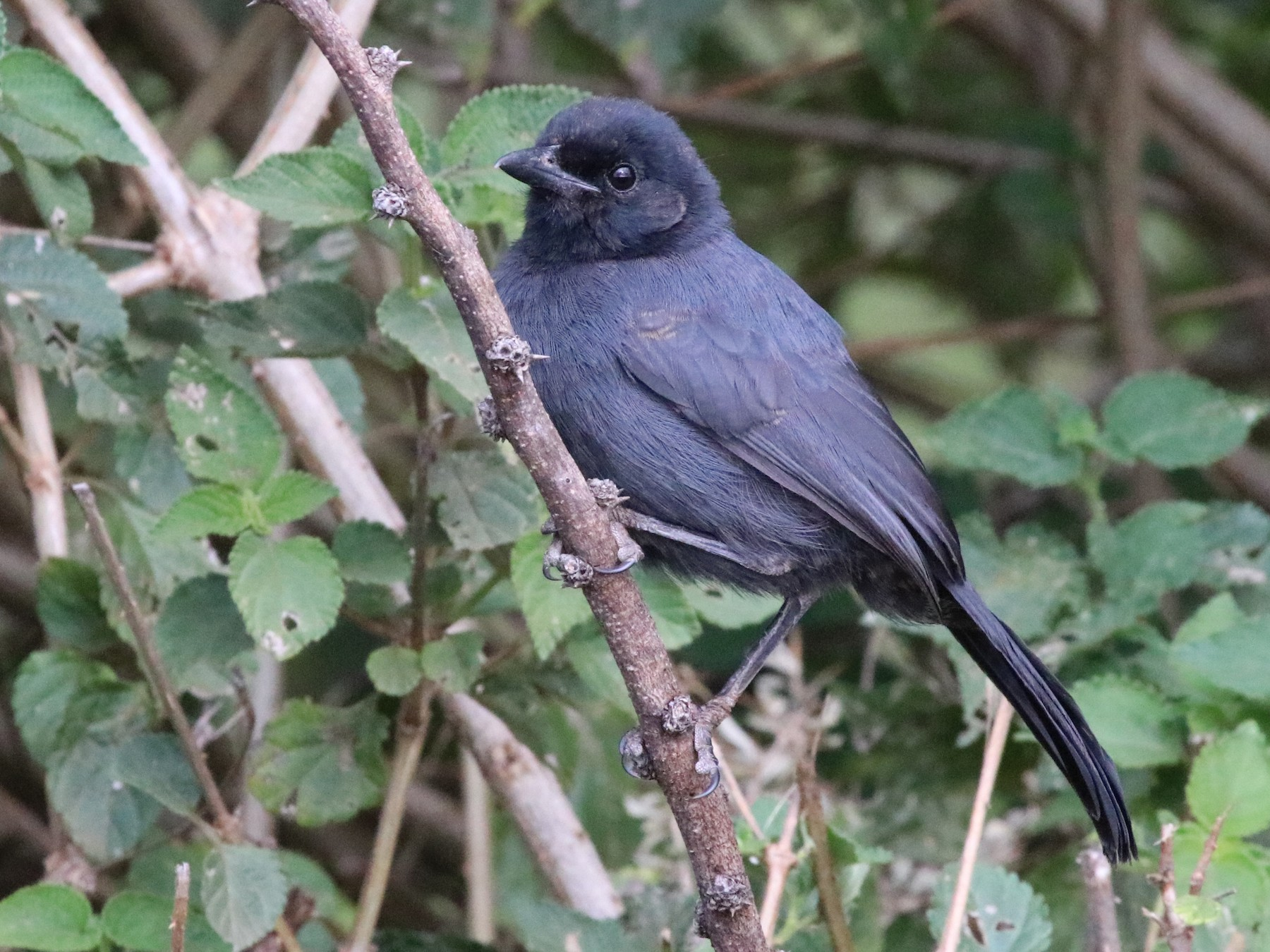 Slate-colored Boubou - Jason Fidorra