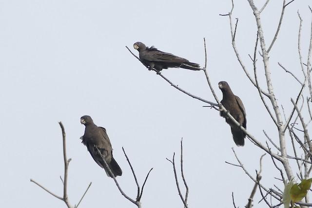 Seychelles Parrot