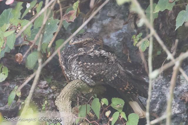 Tawny-collared Nightjar