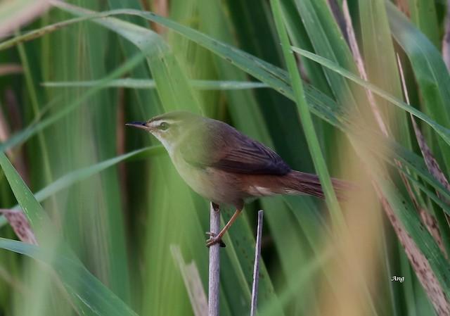 ©Ang TH - Manchurian Reed Warbler