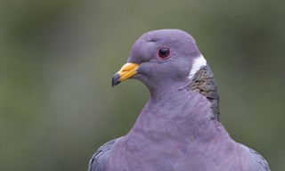 - Band-tailed Pigeon