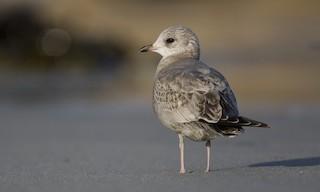 - Mew Gull (American)