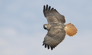- Red-tailed Hawk (calurus/alascensis)