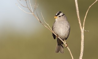 - White-crowned Sparrow (Gambel's)