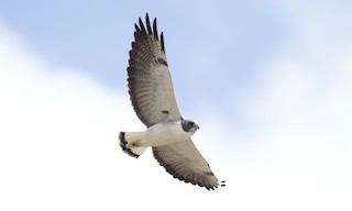 - White-tailed Hawk