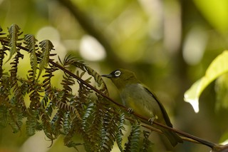 - Black-capped White-eye