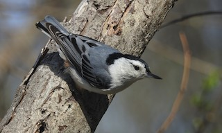 - White-breasted Nuthatch