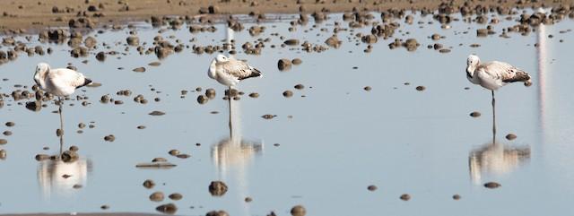 Juvenile Andean Flamingos.