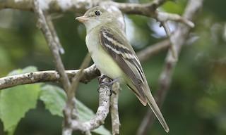 - Acadian Flycatcher