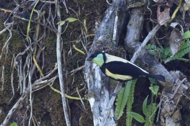 Green-throated Tanager