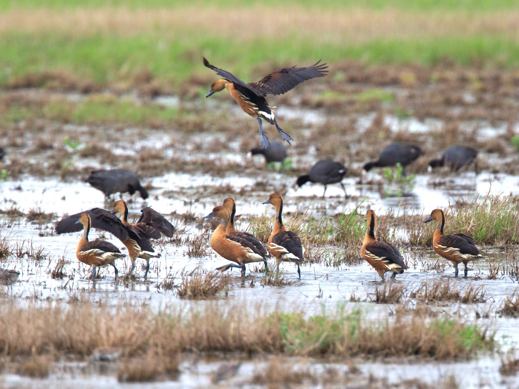 Fulvous Whistling-Duck - Chris Wood