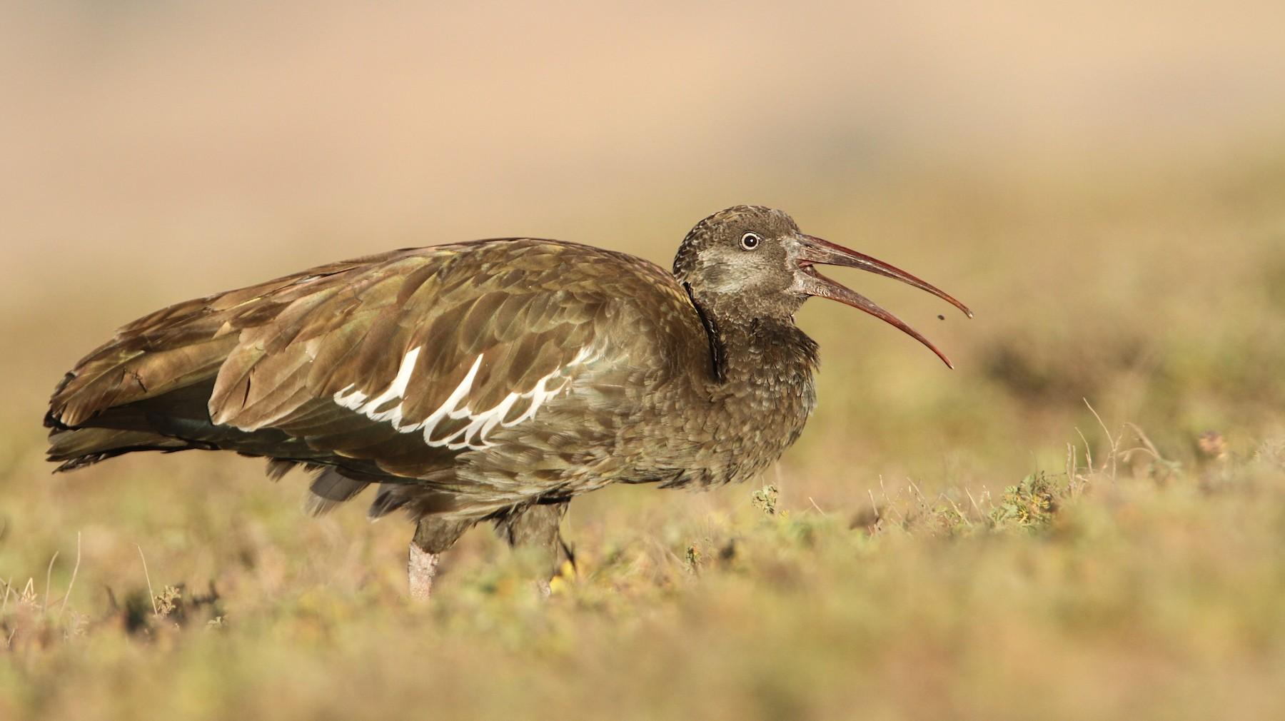 Wattled Ibis - Luke Seitz