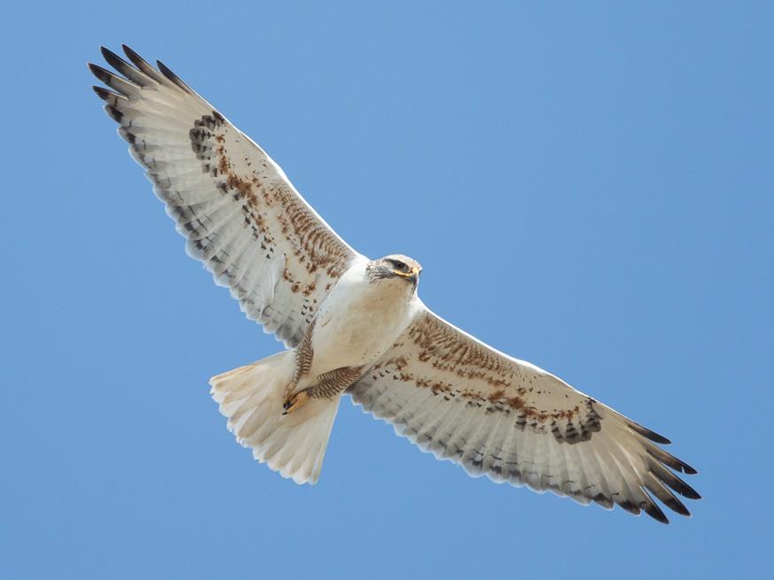 Ferruginous Hawk - Brian Sullivan