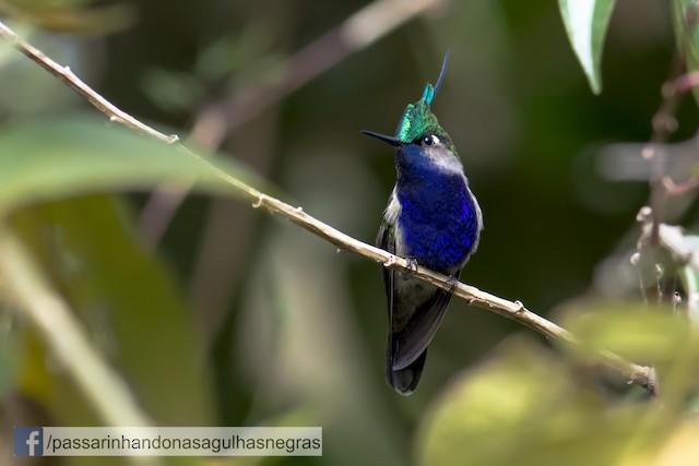 Green-crowned Plovercrest