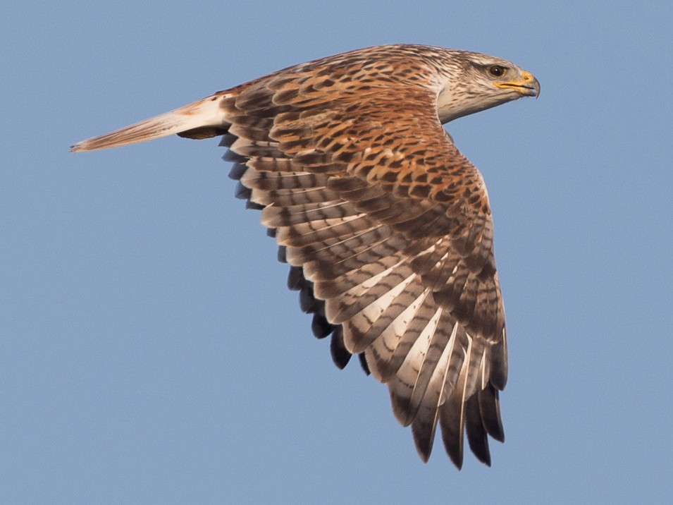 Ferruginous Hawk - Chris Wood
