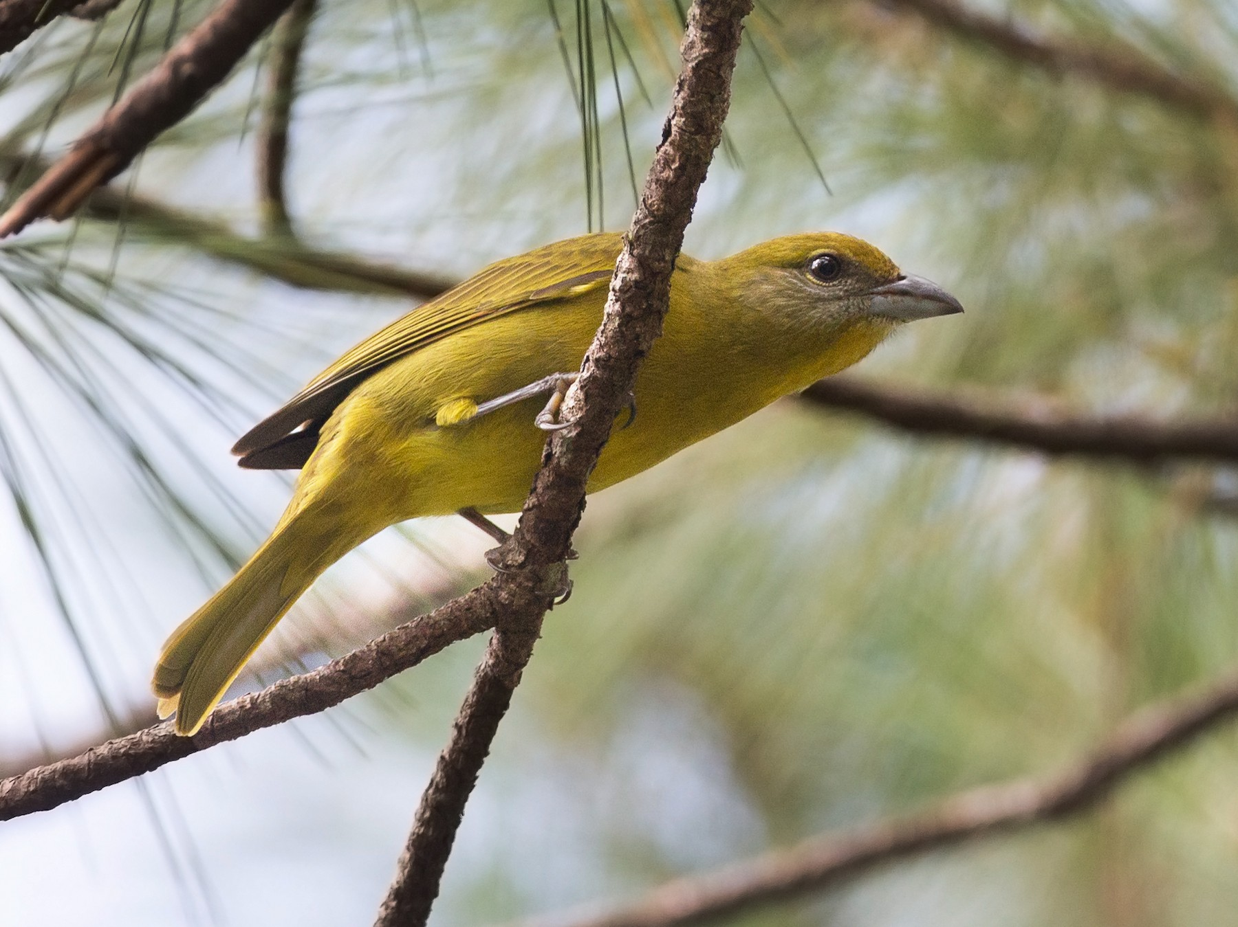 Hepatic Tanager - Chris Wood