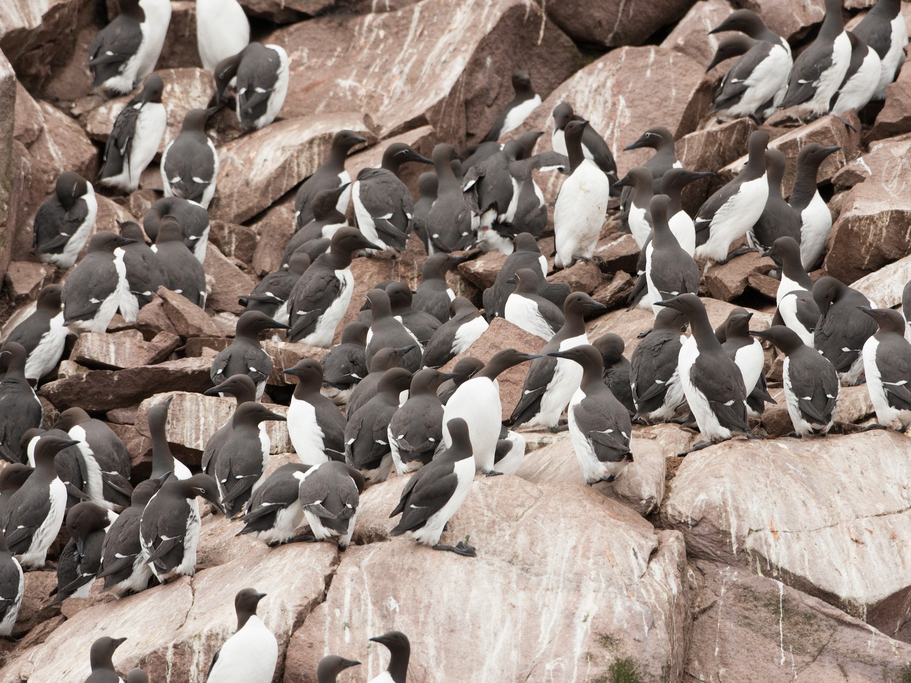 Common Murre - Brian Sullivan