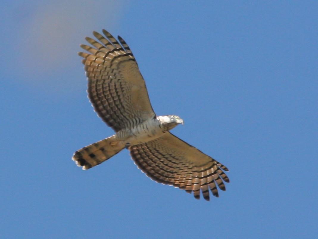 Hook-billed Kite - Chris Wood