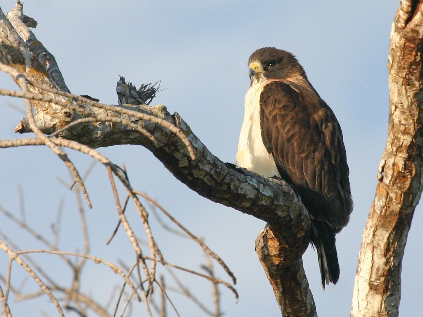 Short-tailed Hawk - Chris Wood