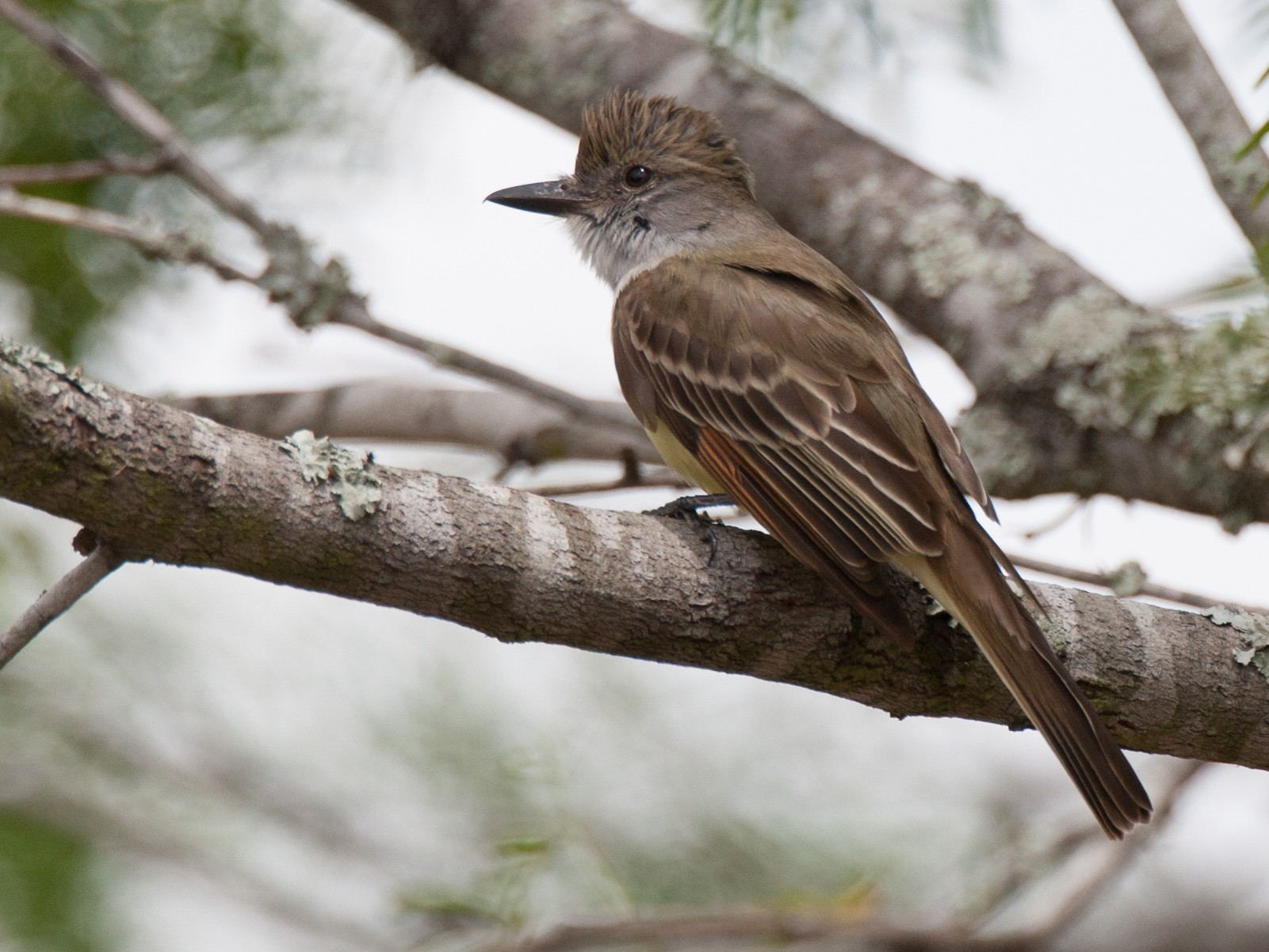 Brown-crested Flycatcher - Chris Wood