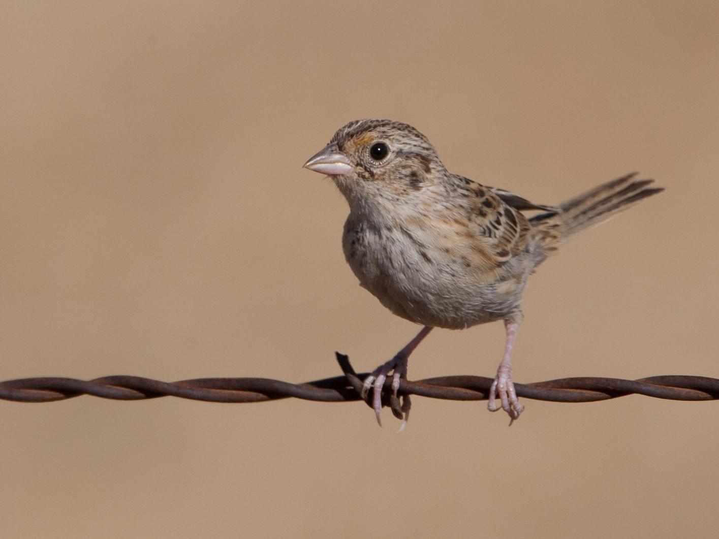 Grasshopper Sparrow - Brian Sullivan