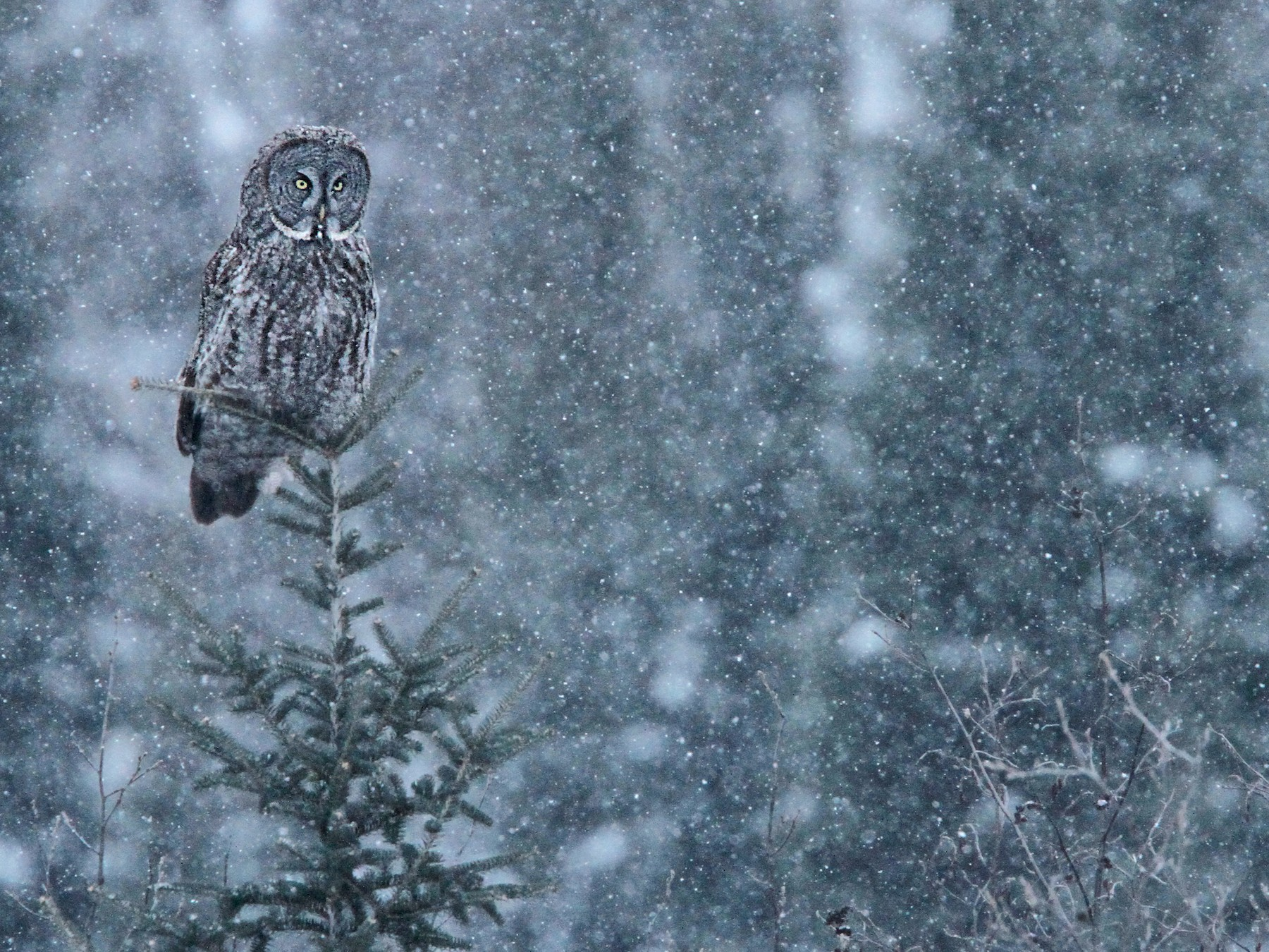Great Gray Owl - Luke Seitz