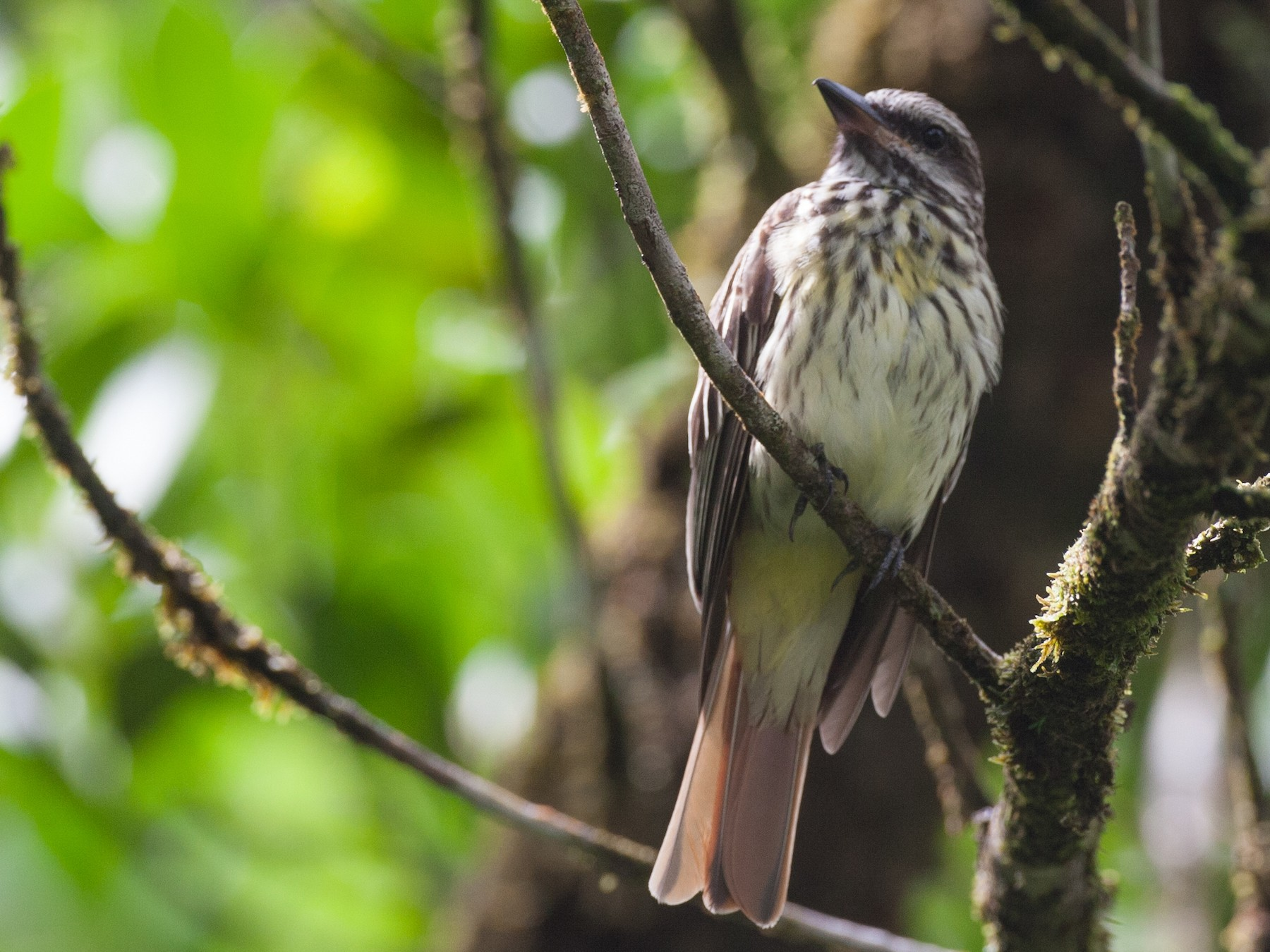 Sulphur-bellied Flycatcher - Chris Wood