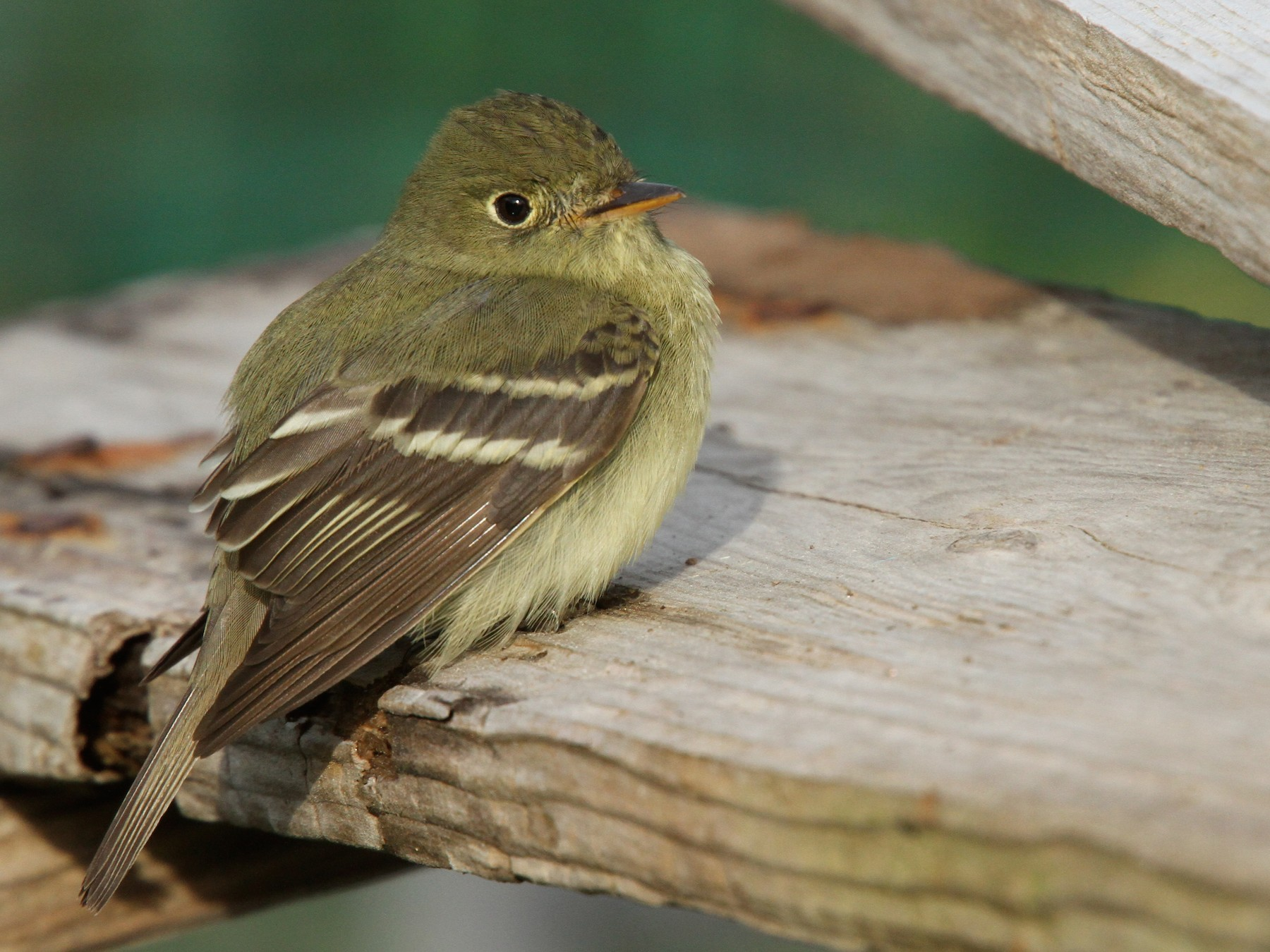 Yellow-bellied Flycatcher - Luke Seitz