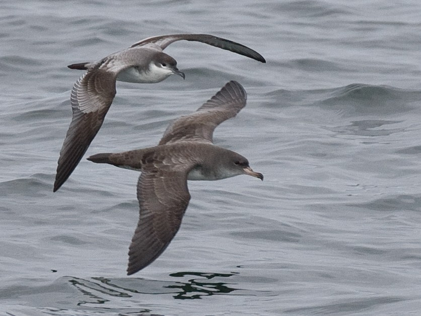 Buller's Shearwater - Chris Wood