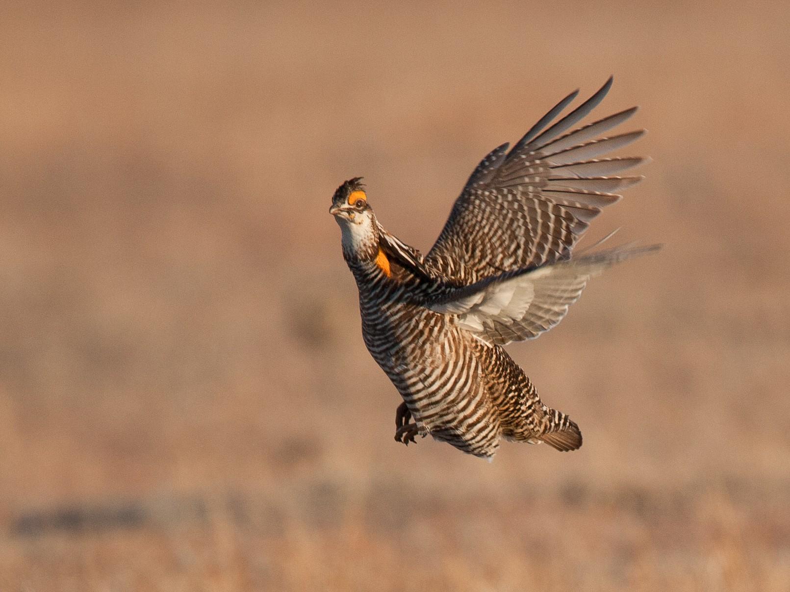 Greater Prairie-Chicken - Chris Wood