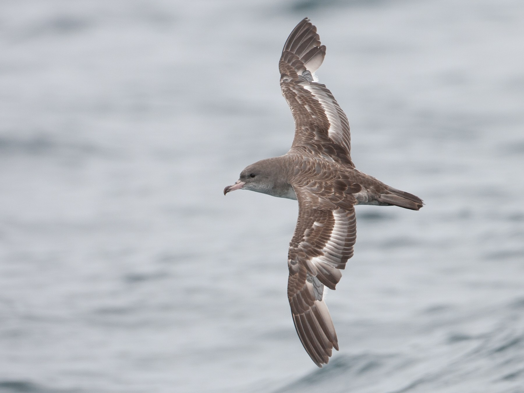 Pink-footed Shearwater - Brian Sullivan