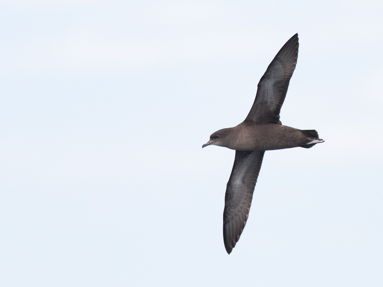 Short-tailed Shearwater - Brian Sullivan