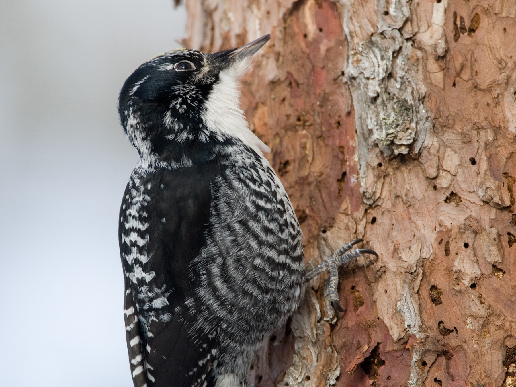 American Three-toed Woodpecker - Chris Wood