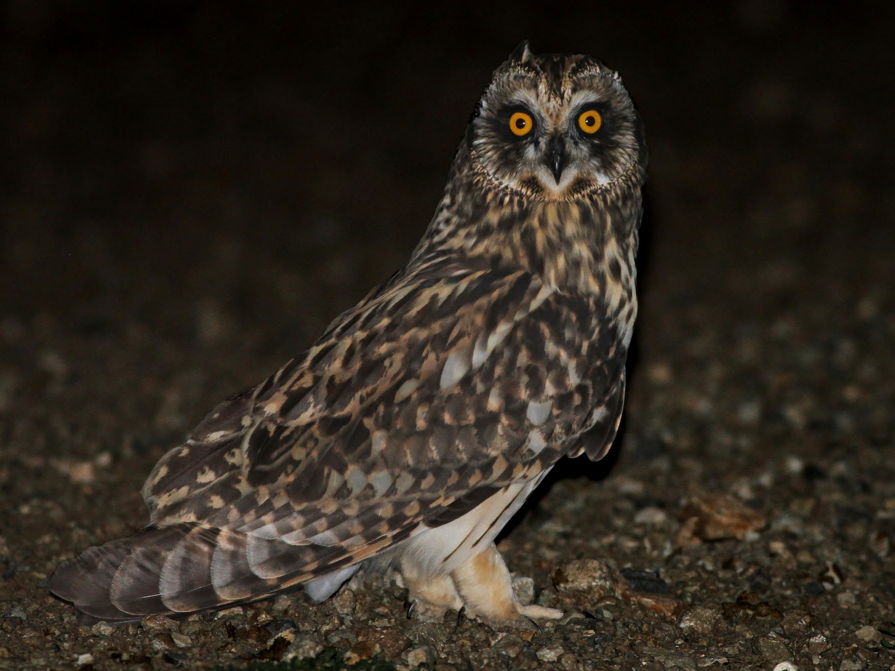 Short-eared Owl - Alex Lamoreaux