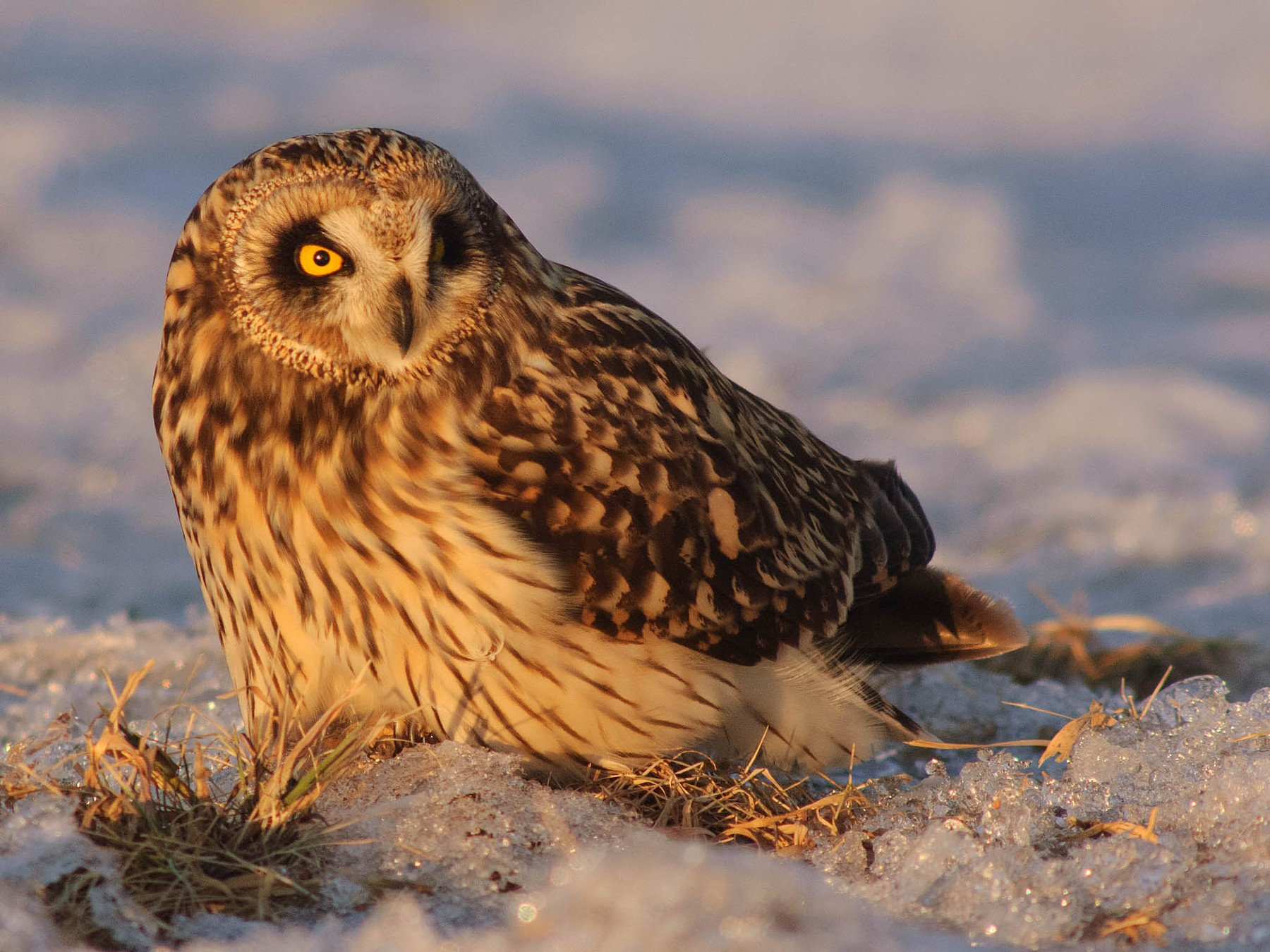 Short-eared Owl - Gerrit Vyn