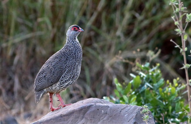 Harwood's Francolin