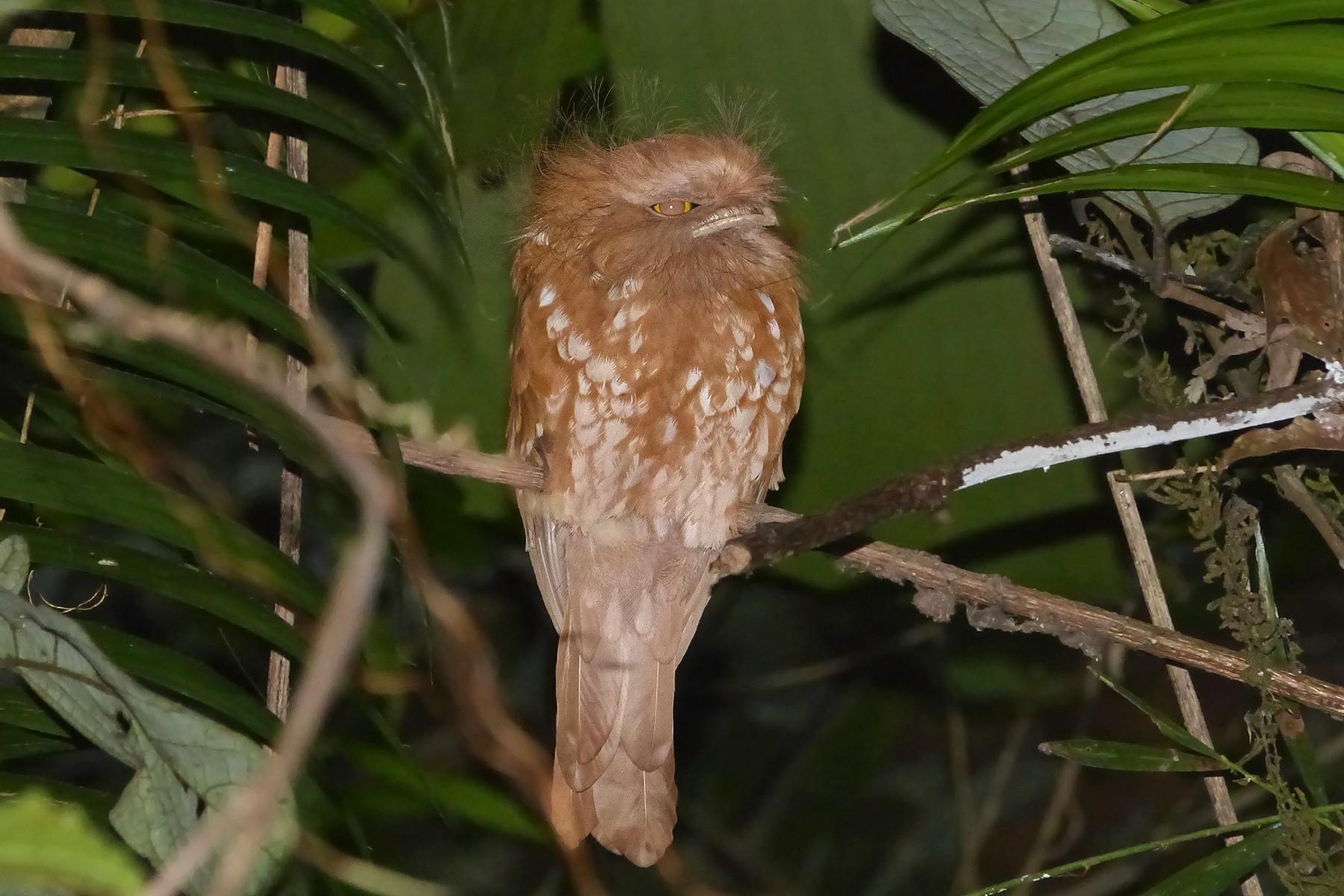 Sumatran Frogmouth - Bruce Wedderburn
