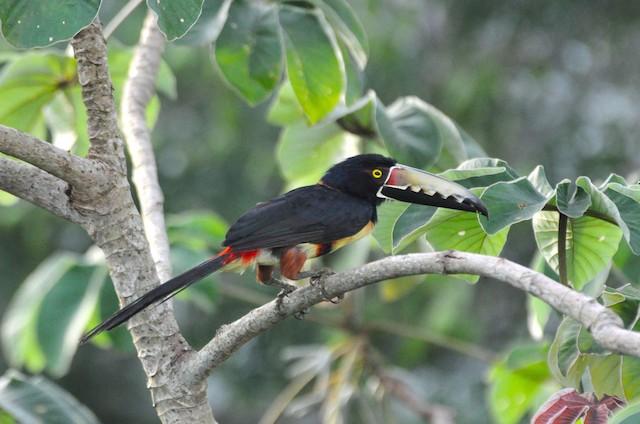 Collared Aracari (Collared)