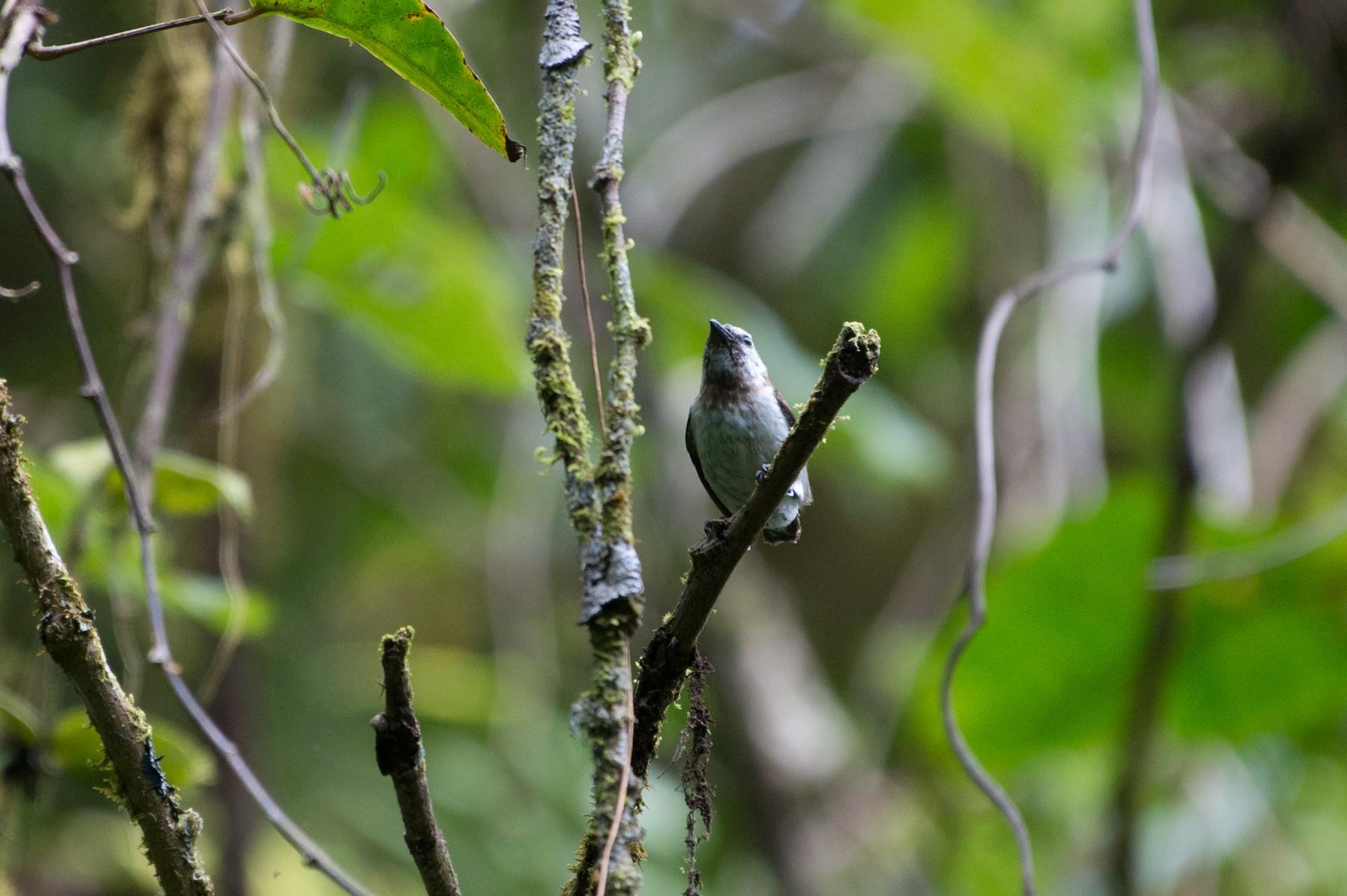 Mottled Flowerpecker - John C. Mittermeier