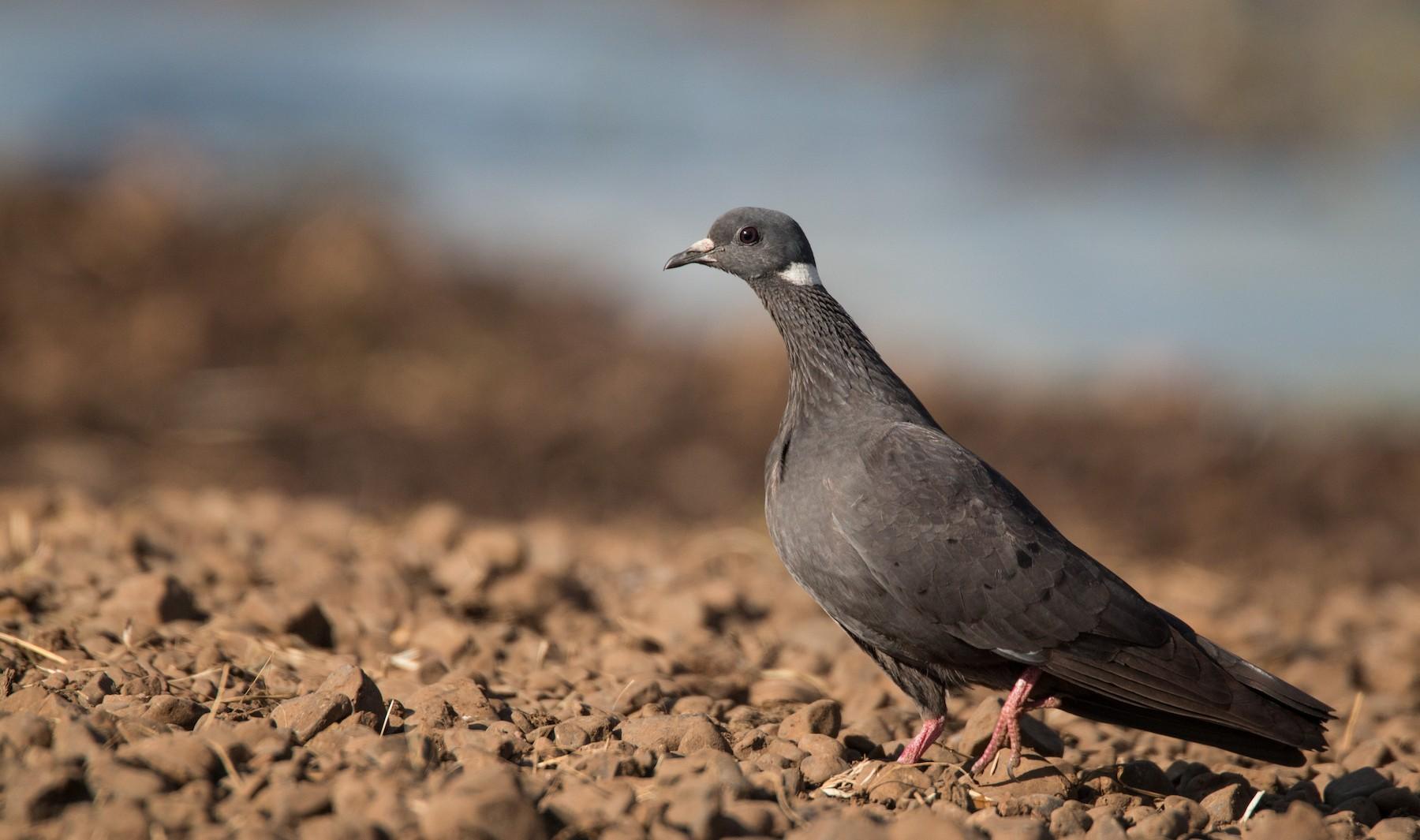 White-collared Pigeon - Ian Davies